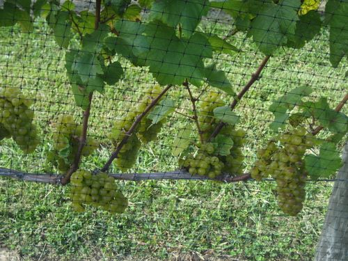 Vineyard grapes 1
